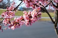 Prunus 'Okame' Common Name: Taiwan Cherry Plant Story: With an early bloom then other cherries, Prunus 'Okame', features fragrant pink flowers with reddish flower stalks. Leaves turn from bronze red to bright orange in the fall. The reddish brown bark feature horizontal lentils. Type: Tree Deciduous Bloom Season: Spring Flower Color: Pink Planting Zone: 6-8 Height: 15-25 ft Spread: 15-20 ft Light Requirements:Full Sun