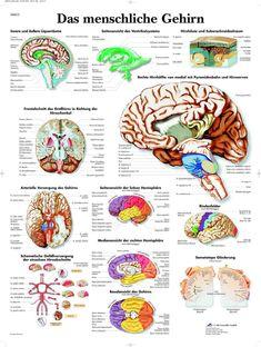 Das menschliche Gehirn Lehrtafel Anatomie 50 x 67 cm Poster • EUR 9,25 - PicClick DE