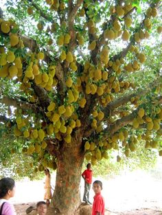 This Jackfruit tree is crazy! I have never seen so many on one tree! Haven't had Jackfruit since I was a child, it is delicious! we had in east AFrica! Fruit Plants, Fruit Garden, Fruit Trees, Trees And Shrubs, Trees To Plant, Jackfruit Tree, Unique Trees, Beautiful Fruits, Tropical Fruits