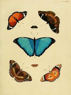 La mariposa azul, uno de los animales en peligro de extinción.