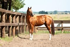 Horses for sale - Budyonny Horse  Russia Showjumping For sale Liverpul