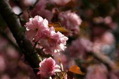 it's cherry blossom season in brooklyn. hooray!
