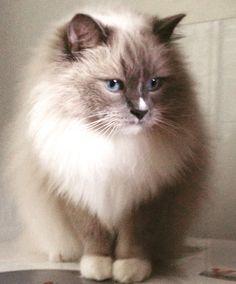 #ragdoll #cat #Neo #lovemycat