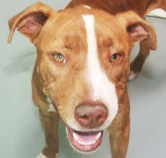 *CRYSTAL-ID#A673818    Shelter staff named me CRYSTAL.    I am a female, brown brindle and white Pit Bull Terrier.    The shelter staff think I am about 7 months old.    I have been at the shelter since Sep 23, 2012.