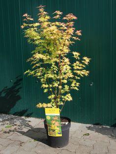 Baumschule, Wunschliste, Pflanzen, Acer Palmatum