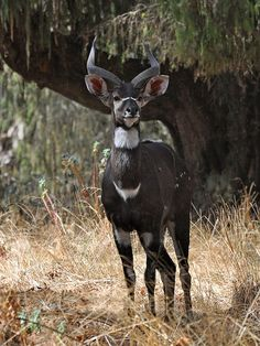 Rare antelope, being found only in the high mountain forested grasslands of Ethiopia at 2000-4000m.