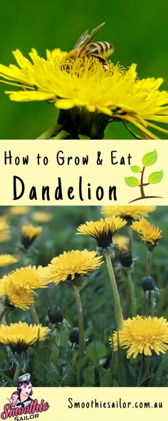 The humble Dandelion is one of the most versatile herbs you can grow in your garden! All parts of the plant are edible with great health benefits and vitamins. Find out how to grow Dandelion greens, roots and seeds, as well as how to harvest them. Dandelion Plant, Dandelion Leaves, Dandelion Flower, Dandelions, Dandelion Painting, Growing Herbs, Growing Flowers, Wild Lettuce, The Tiny Seed