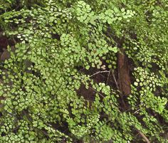 Maidenhair fern Wolli Creek valley