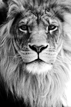 Our God is a lion, the lion of Judah, He's roaring with power and fighting our battles. Every knee will bow before Him<<every knee will bow before the lion and the lamb Beautiful Cats, Animals Beautiful, Beautiful Images, Animals And Pets, Cute Animals, Wild Animals, Nature Animals, Baby Animals, Gato Grande