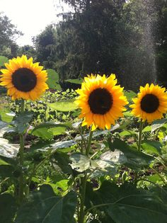 Backyard Sunflowers