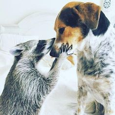 """""""Raccoon Reverence   Raccoons can be so very gentle and they are not vicious unless cornered or  attacked  Best friends with Cats too"""