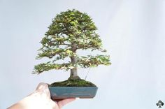 A Shohin styled Ulmus Parviflora.  I can't believe how small this one is!