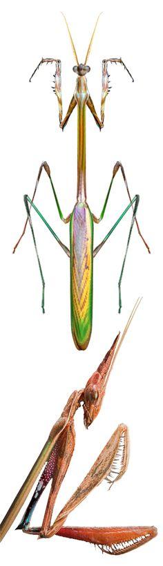 Idolomorpha Lateralis