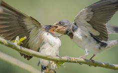 A barn swallow feeds it's hungry chick near Dal Lake in Srinagar, Indian administered Kashmir