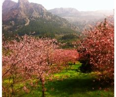 Almond blossoms, Soller Valley