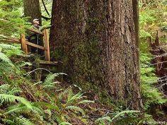 The Doerner fir, tallest Douglas fir at 327 ft in Coos County