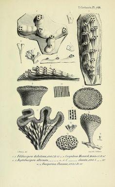 n294_w1150   by BioDivLibrary Science Drawing, Scientific Drawing, Public Domain, Art Environnemental, Karl Blossfeldt, Coral Bleaching, Ernst Haeckel, Environmental Art, Botanical Illustration