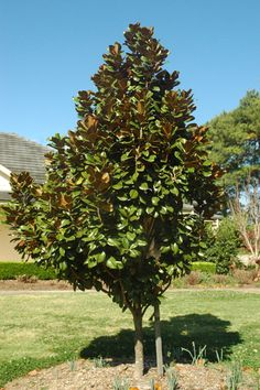 Magnolia-grandiflora-Teddy-Bear. Smaller tree (to 3m tall by 2m wide but can be pruned to any size) for next to the kitchen window.