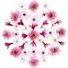 Cherry Blossoms - Flora Forager - Bridget Beth Collins - floraforager.com