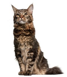 ✮ Maine Coon Coolest Cats I've ever seen. Intelligent. Fun