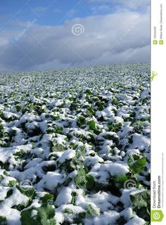 Photo about A wide open large mono-crop agricultural field of young mustard plants under a fresh layer of snow with clouds. Image of snow, hill, clouds - 105525259
