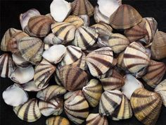 CRAFT SHELLS Mexican Sunset Clams SEASHELL SAILORS VALENTINE Subrugosa 25pc lot