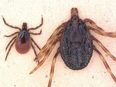 MONSTER ticks found in Germany threaten Europe with DEADLY disease Crimean-Congo fever - World News Top World News, Missing Link, Ticks, Congo, Dares, Insects, Germany, Spiders, Dengue