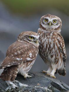llbwwb: (via / Brothers by Halil Usun) Beautiful Owl, Animals Beautiful, Cute Animals, Burrowing Owl, Barred Owl, Owl Photos, Owl Pictures, Owl Bird, Pet Birds