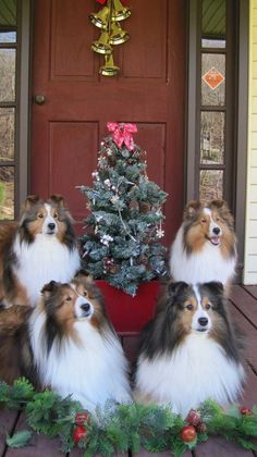The Shetland Sheepdog originated in the and its ancestors were from Scotland, which worked as herding dogs. These early dogs were fairly sm Christmas Animals, Christmas Cats, Merry Christmas, Beautiful Dogs, Animals Beautiful, Pet Dogs, Dogs And Puppies, Doggies, Sheep Dogs