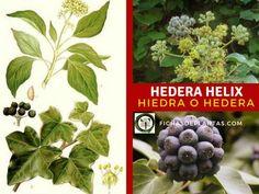 Hedera Helix, Fruit, Plants, About Plants, Climber Plants, Medicinal Plants, Ivy, Plant, Planets