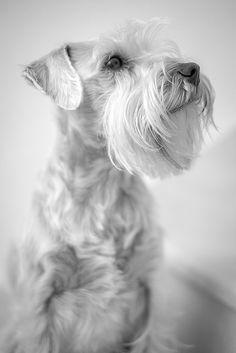 Misty by Igor Novakovic Photography #Miniature #Schnauzer