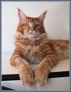 1000 images about orange maine coon cats on pinterest