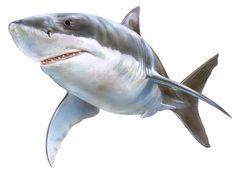 portbeagle-shark.jpg (600×431)