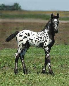 appaloosa foals - Bing Images