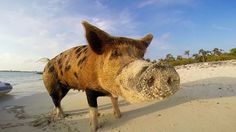 Pig Beach, Exuma Cay is a human-free island in the Bahamas that is solely populated by friendly swimming feral pigs who don't seem to mind that a human or two comes to visit them with yummy treats....