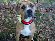 TO BE DESTROYED WED 9/24/14 Manhattan Center   ANGELA - A1014102  I am an unaltered female, tan and white Pit Bull Terrier mix.  The shelter staff think I am about 1 year old.  I was found in NY 10462.  I have been at the shelter since Sep 14, 2014. https://www.facebook.com/photo.php?fbid=871752719504275