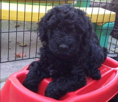 #Barbet / French Water #Dogs #Puppy