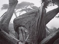 ANSEL ADAMS  1902 - 1984 Cypress and Fog, Pebble Beach, California Date:1967