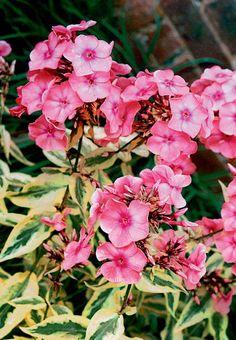 Becky Towe Garden Phlox - Monrovia - Becky Towe Garden Phlox