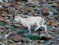 stambecco albino  Parco Nazionale del Gran Paradiso   steinbock albino  #valle aosta #vacanze #viaggio #alpi italiane  #Aosta Valley #travel #vacation #Italian Alps # National Park of Gran Paradiso