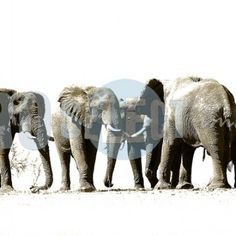 Professional Photography and photographic art gallery Interior Photography, Professional Photography, Monochrome, Art Gallery, Elephant, Animals, Image, African Bush Elephant, African
