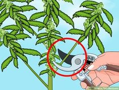How to Trim Marijuana: 7 Steps (with Pictures) - wikiHow