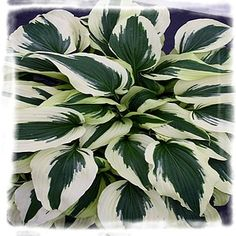 Hosta 'Ice Follies' is a probable tetraploid mutation of the old standard, Hosta 'Antioch'. Hosta 'Ice Follies' is much smaller than its parent, forming a small tall x wide clump of pointed green leaves, with a very wide border that emerges gold and Hosta Plants, Shade Plants, Garden Plants, Herb Garden, Moon Garden, Dream Garden, Hosta Varieties, Heuchera, White Gardens