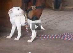 This is just three straight minutes of a pit bull puppy and a Standardbred gelding loving on each other. There's no plot. Nothing changes. But it might be the best movie you see all week.