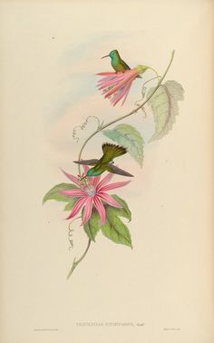 Passion flower vine. Passiflora vitifolia (1861)