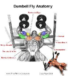 dumbell fly anatomy