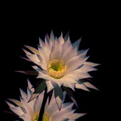 animation loop nature seamless bloom work in progress cactus flower trending #GIF on #Giphy via #IFTTT http://gph.is/2gzRHrv
