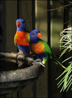 Beautiful birds at birdbath (by Carrie Miller Campagna)