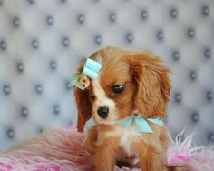 When I'm older I think I'm gonna only buy teacup puppies :)