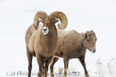 Rocky Mountain Bighorn Sheep Ram Ewe Wild Free Wilderness Mountains Winter Snow Animal Fine Art Nature Wildlife Photography Cat Pentescu by ImagesByCat on Etsy